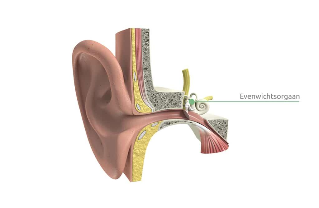 De duizeligheid oorzaken: een verstoord evenwichtsorgaan. Dit orgaan zit in het oor.