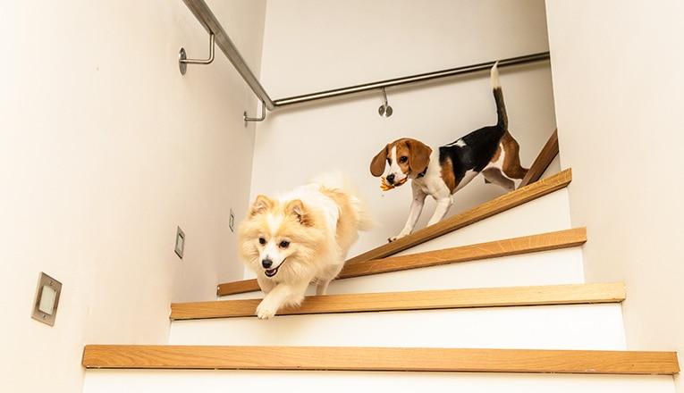 Twee kleine honden hebben geen traplift voor honden nodig, zij rennen de trap af